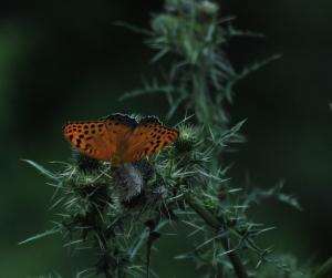 DSC_0422ff butterfly